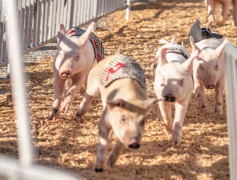 Hollywood Racing Pigs