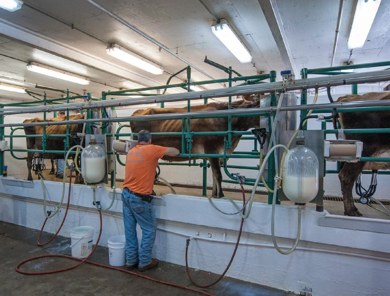 Cows in Milking parlor