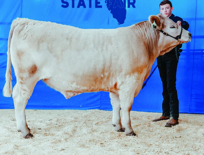 Steer Show Champion